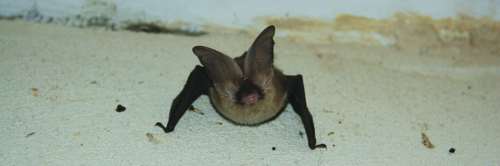 Norfolk Bat Survey