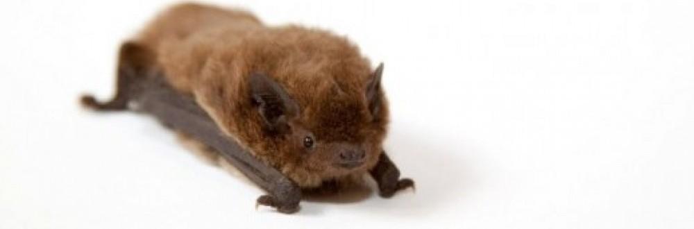 Norfolk Bat Survey